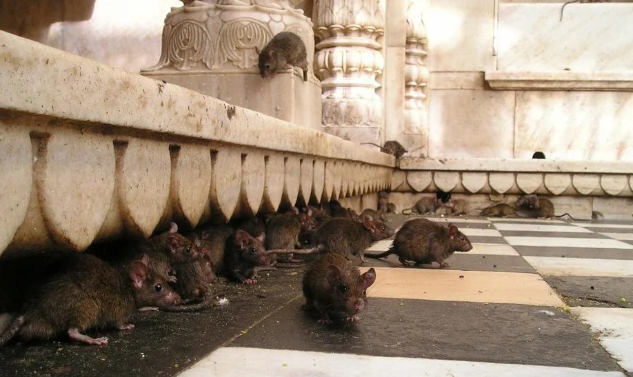 Štakori koji se prodaju u restoranima u Aziji nosioci brojnih korona virusa