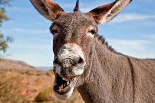 Pakistanski sud oslobodio magarca privedenog u slučaju ilegalnog kockanja