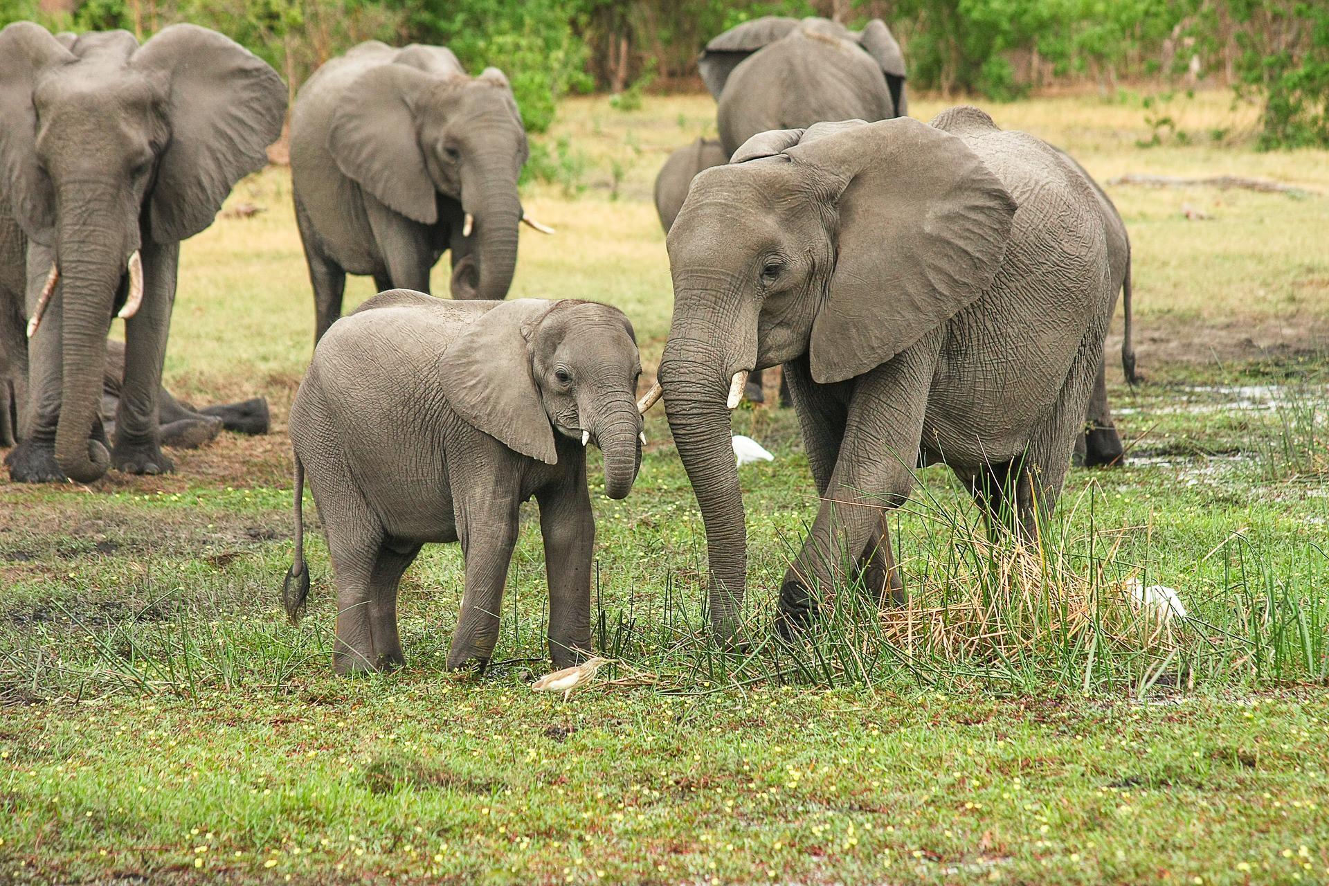 Slonovi koji pate od stresa liječit će se marihuanom