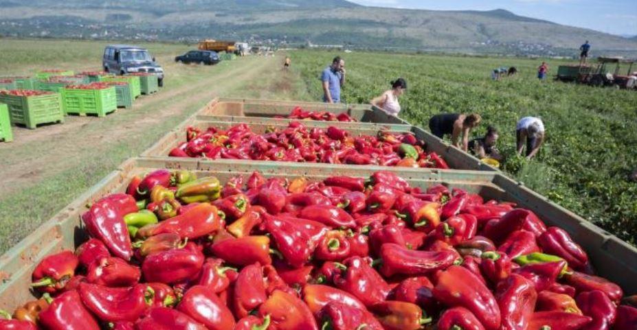 Vrijedne ruke Hercegovaca beru tone paprike za europsko tržište!