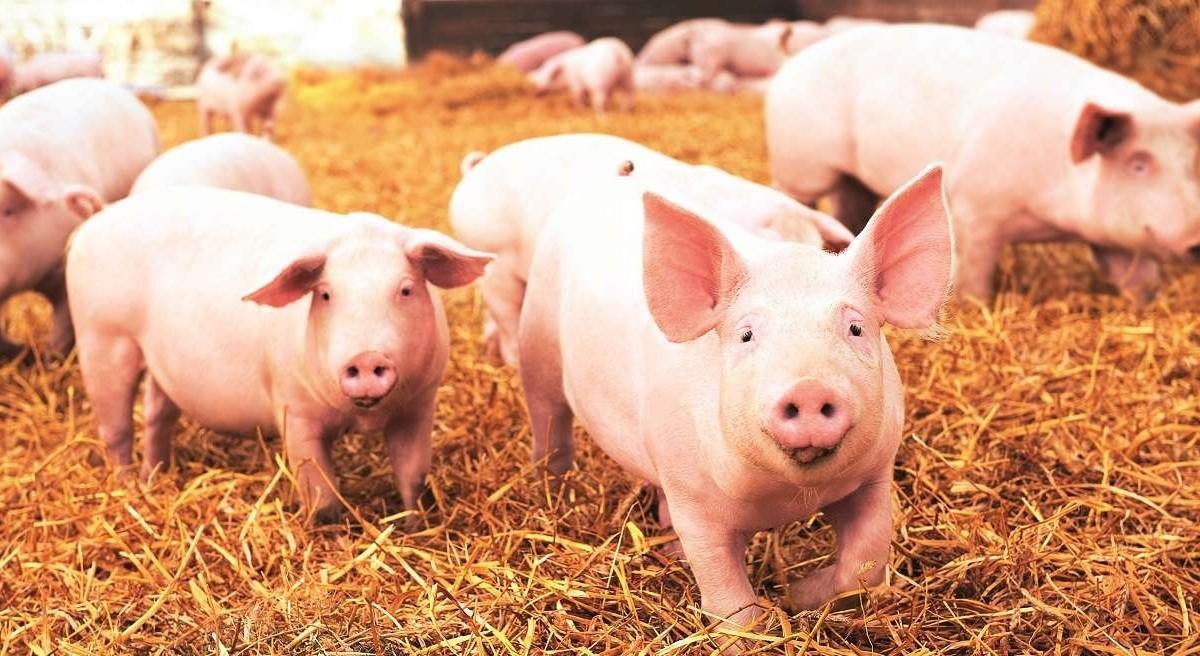 Nove respiratore testiraju na svinjama