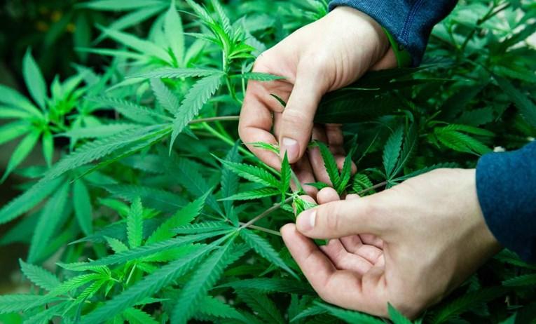 Mostar: Otkrivena plantaža marihuane