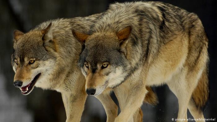 Kod Ljubuškog vukovi napali stado magaraca