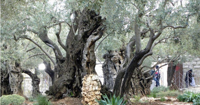 Kako su Hrvati iz BiH rasprodali sve i kupili od muslimana Getsemanski vrt u kojem je Juda izdao Isusa