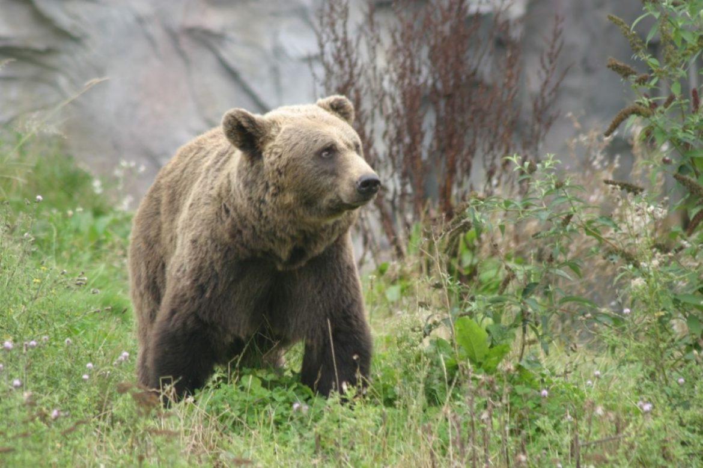 Medvjed napao čobana u Konjicu, prelomio mu obje ruke