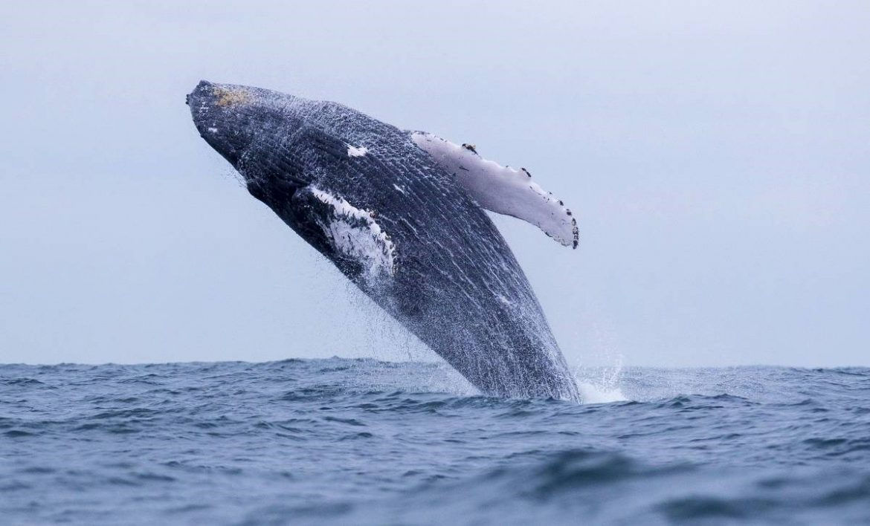 Amerikanac tijekom ronjenja završio u ustima grbavog kita i preživio