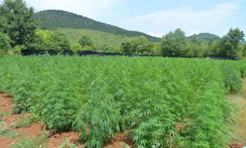 A sve oni, kao, lijeni: U Crnoj Gori otkriven dosad najveći zasad marihuane